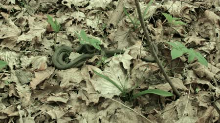 nonvenomous : Snakes in the woods