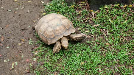 Turtle walking on grass in the public garden. 動画素材