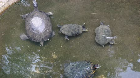 Group of turtles swimming  in the little pond in public garden.