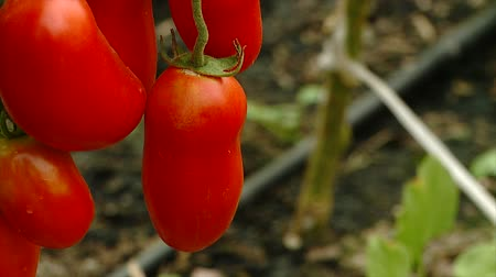 red pepper grows in a greenhouse