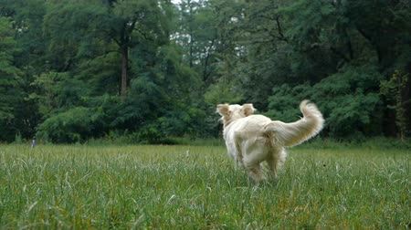itaat : Golden Retriever outdoor training process