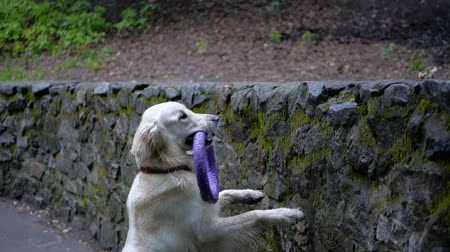 társ : Golden Retriever outdoor training process