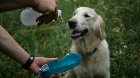 retriever : Gollden retriever dog drinking water from a drinker Stock Footage