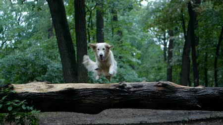 fajtiszta : 4k Slow motion. Golden retriever dog outdoor in the park.