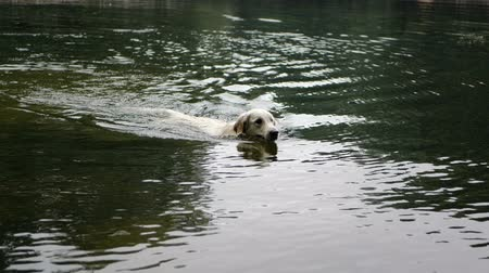 Golden retriever dog swimming in the in the park pond