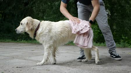 Man wipes his Golden retriever dog with a towel. Outdoor park.