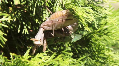 mantis : pair of mantis mate on a thuja branch on a summer sunny day