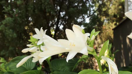 on a summer sunny day, an incredibly beautiful white lily flower sways in the wind