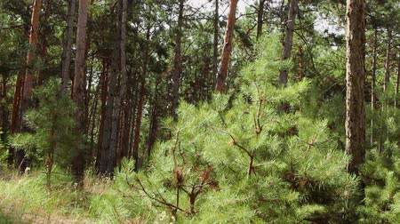 a small tree pine grows in a coniferous forest and the wind moves its branches
