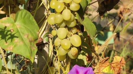 sunny day, male hands take off a bunch of ripe grapes with green fruits from the vine