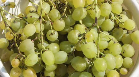 large bunches of grapes in the morning sun, green grapes close-up in a bowl served to the table