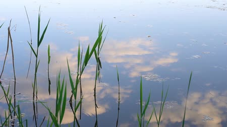 Reflection of the sky on the water surface. The blue sky is reflected in the lake. White clouds are reflected in the water. Silent surface of the lake. Quiet and calm water surface. Coastal river vegetation. Green reed on the river.