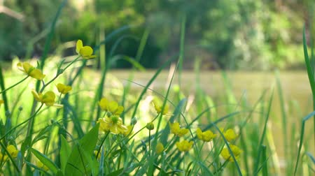 vonný : Flowers on the river bank in slow motion. The yellow flowers on the meadow slowly swing. Early in the morning on the river bank. Beautiful flowers slowly swing. Sunny morning in the forest. The river bank with beautiful plants.
