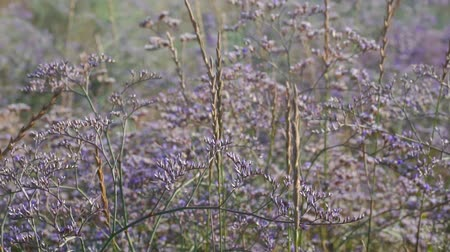 otsu : Purple wild flowers. Flowers in a meadow. A field with flowers. Dry grass. Stok Video