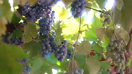 vinná réva : Ripe grapes. Grapes in the sun. Blue and green grapes. Sunlight shimmers through the vine. Mature large bunches of grapes.