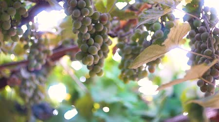 toszkána : Ripe grapes. Grapes in the sun. Blue and green grapes. Sunlight shimmers through the vine. Mature large bunches of grapes.