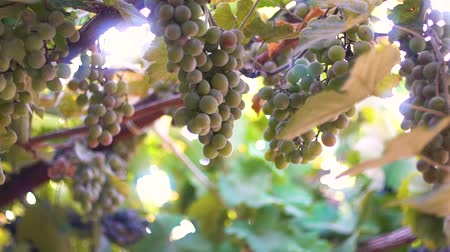 cachos : Ripe grapes. Grapes in the sun. Blue and green grapes. Sunlight shimmers through the vine. Mature large bunches of grapes.