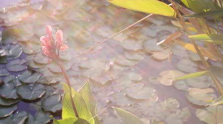 Beautiful view of the lake with water plants. Asian aquatic vegetation. Sunny morning on the lake. Beautiful flower.