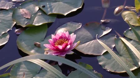 Beautiful view of the lake with water plants. Sunny morning on the lake. Beautiful flower. Lotus flower is a sacred symbol.