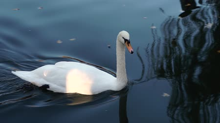 Waterfowl species of birds. Swan on the lake. Migratory birds. White-swan swimming in the water.
