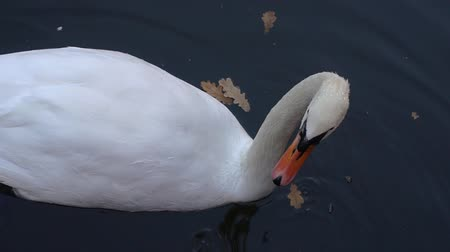 Types of waterfowl. Swan on the lake. Migration of birds. White swan lowered his head under the water. Pond in the city park. Stock mozgókép