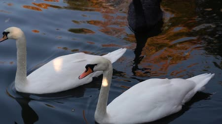 Types of waterfowl. Swans on the lake. Migration of birds. Two white swans swim in the pond. Stock mozgókép