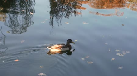 Duck swims in the city park on the pond. Types of waterfowl. Lake in the city park. Pond in the park.