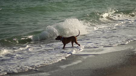 Purebred dog walks on the beach. Pets. Hungarian dog Vizsla runs along the ocean coast. The dog walks on a deserted beach. An adult dog runs along the coast.