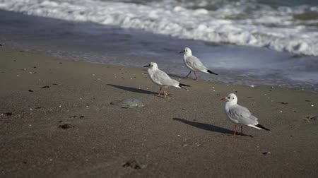 óceánok : The coast of the southern sea. Gulls on the shore. Sea sandy beach in summer. Summer beach. Stock mozgókép