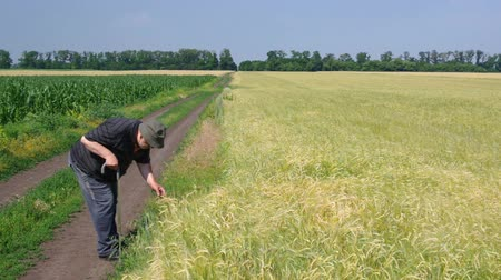 Senior farmer controlling wheat ripeness in agricultural field in Ukraine Vídeos