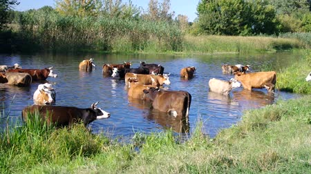 Cow herd having water treatment with pleasure in summer river