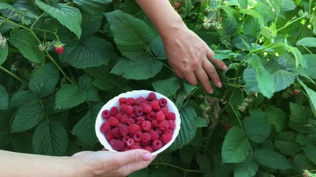 Human hand gathering ripe organic raspberry and put it in white plate