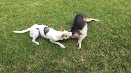 White male of young cross-breed dog bites black female dog while playing outdoor
