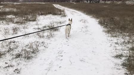 колебание : Big mixed breed white dog walking with lead on a snow covered earth road