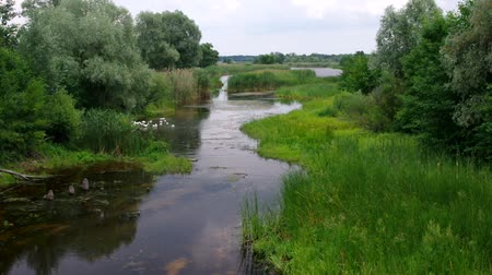 kamış : Peaceful summer landscape with small river Kolomak, Poltavsk oblast, central Ukraine Stok Video