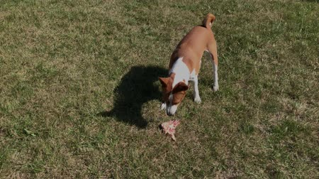 Basenji male dog eating piece of raw meat while standing on a green lawn