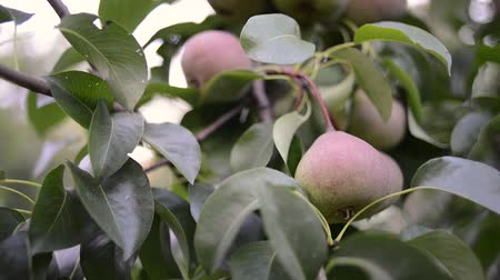 fresh organic pears ripening on big tree branches, sliding camera movement