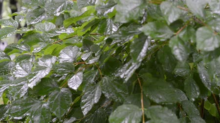 fresh leafs of green bush in garden by summer under rain, panning footage Dostupné videozáznamy
