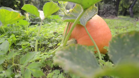 fresh big organic pumpkin growth on garden grounds, sliding and pan camera movement