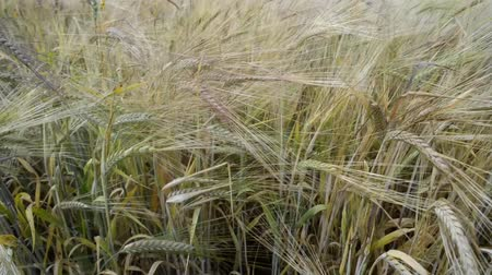 shaking wind : wheat stalks waved by light wind by summer Stock Footage
