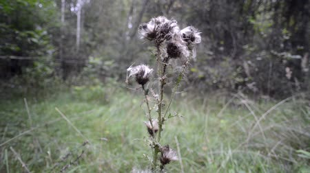thistle : thistle dry plant on green meadow by autumn, camera movement from bottom to top