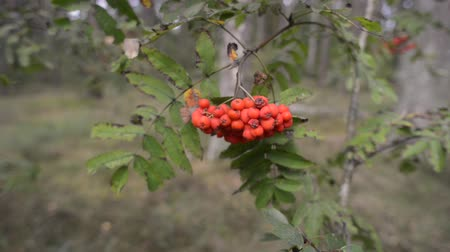 rowanberry : ripe rowanberries on tree branch in summer forest Stock Footage