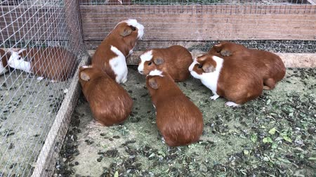 świnka morska : many guinea pigs inside the aviary outdoors Wideo