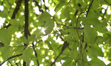 baldachin : A ray of sunshine breaks through the green tree branches
