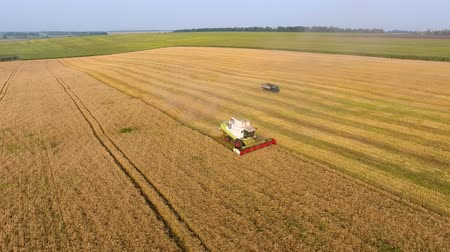sklizené : Aerial view Combine Harvester gathers the wheat. Harvesting grain field, crop season. agriculture