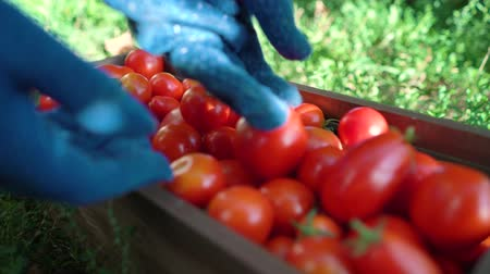 botanikus : Closeup caucasian female in blue gardening gloves filling wooden container with tomatoes. Woman working in vegetable garden. Gardening, leisure, hobby, agriculture, work, safety concept