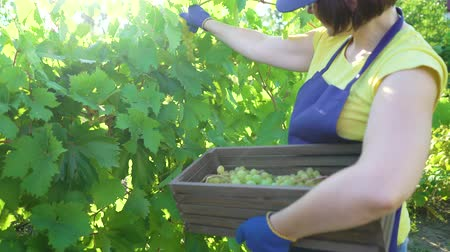 botanikus : caucasian female in blue apron and gardening gloves harvesting grapes in vineyard. Woman working in garden. Gardening, leisure, hobby, agriculture, work, safety concept
