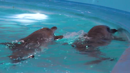 delfín : couple of dolphins swimming in pool and looking out of water