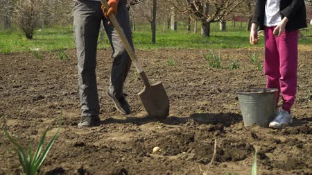 hlíza : partial view of farmer and his daughter planting potatoes in early spring