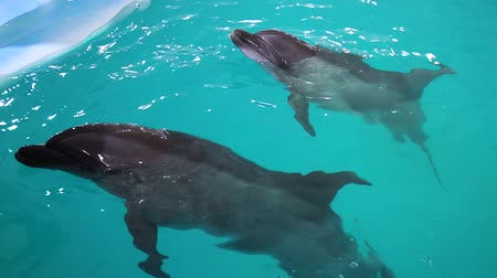 yunus : couple of grey dolphins in blue water of dolphinarium swam up to instructor Stok Video